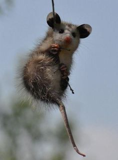 A tiny possum hanging from a vine.