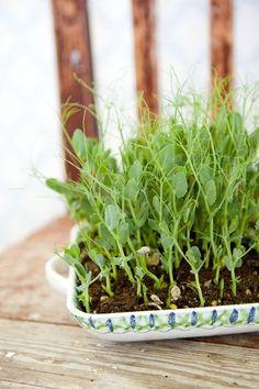 Att odla ärtskott är kul eftersom det är så enkelt och ger en väldigt god skörd till en väldigt liten insats. Här får du tips på hur man gör. Indoor Garden, Garden Plants, Indoor Plants, Planting Succulents, Growing Gardens, Wheat Grass, Growing Seeds, Herbs Indoors, Small Space Gardening