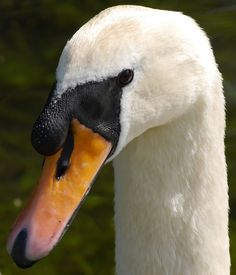 Swan by simonmarshall on Lumix G Experience