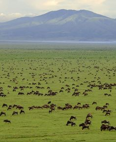 Tanzania - Serengeti National Park where nearly one million wildebeest and 200,000 zebras move from the northern hills to the south every October and November during the short rains