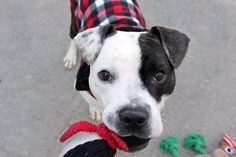 """HOLLISTER -  A1100054 - - Manhattan  TO BE DESTROYED 01/12/17: ****PUBLICLY ADOPTABLE**** A volunteer writes: Move over, Derek Zoolander! There's a new cat…I mean dog…in town. Poised and ready to take the fashion world by storm, 1 year-old Hollister is young, sweet, playful, and, of course, ridiculously, ridiculously good-looking. The moment this walking Oreo and I hit the city streets, we're met with a chorus of, """"stop!"""" """"no!&#8221"""