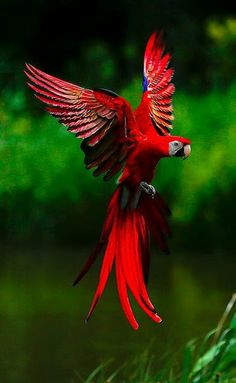 Kripu Kasumarthy _ The scarlet macaw (Ara macao) is a large, red, yellow and blue South American parrot Tropical Birds, Exotic Birds, Colorful Birds, Exotic Pets, Colorful Parrots, Exotic Fish, The Animals, Nature Animals, Funny Animals