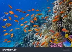 Tropical Fish And Hard Corals In The Red Sea, Egypt. Стоковые фотографии…