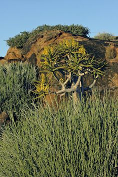 - The Quiver Tree, Aloe ditichotoma, Augrabies Falls, Northern Cape, South Africa Kokerboom in bloom Africa Travel, Us Travel, Augrabies Falls, Quiver, Aloe, South Africa, Garden Ideas, Succulents, National Parks