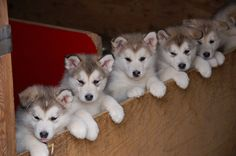 Cute Sled Dog Puppies, can't wait to meet them!