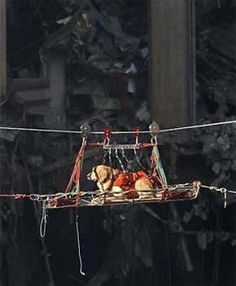 Video: Hero Dogs of Pictured: A Golden Retriever rescue dog keeps his cool as he is transported out of the debris of the World Trade Center four days after the attack. Search And Rescue Dogs, Dog Search, Dog Nose, Iconic Photos, Therapy Dogs, September 11, World Trade Center, Service Dogs, True Service