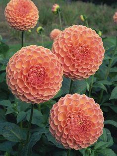 Nursery School: Dahlias are the Flower Garden's Divas