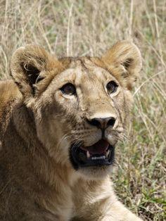 www.elfoton.com #elfoton14 @elfoton_es #categoria #fauna #sinfiltros #instagram Usuario: jordi_ms (Tanzania) - La mirada de la leona - Tomada en Parque Nacional del Serengueti, Tanzania el 28/03/2013