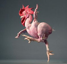 Naked modern dance rooster! (Tim Flach)