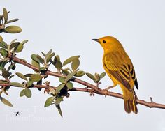 Yellow Warbler perched on a branch at Sunset