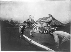 "Apparently, many people throughout history have attempted to train and breed zebras for riding. ""Man on a tame zebra jumping a fence in East Africa."" Circa 1890-1923."