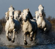 Group of Camargue Horses Galloping through Water