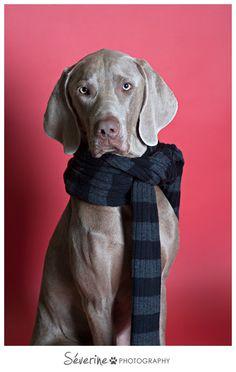 Weimaraner      Photos by Severine Photography  #weimaraner #dog