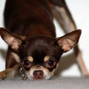 My little pearl has gone from being crate trained to not crate trained... I feel like I starting over! How to Potty Train a Six-Year-Old Chihuahua | eHow