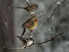 A sparrow, a female cardinal, and a tufted titmouse (top to bottom) wait for their turn on a bird feeder on a snowy day in February 2014.  Photo by Linda Davidson, The Washington Post via Getty Images
