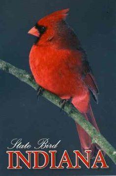 Indiana state bird by JustMeSKJ ~ Postcards, via Flickr