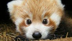 panda roux <3