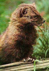 Mammals of Washington Fisher Martes pennanti
