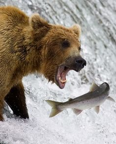great shot of bear catching a salmon