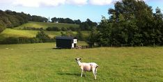 Shorn sheep and shepherd's hut built by Plankbridge at Hare Farm Hideaways in East Sussex