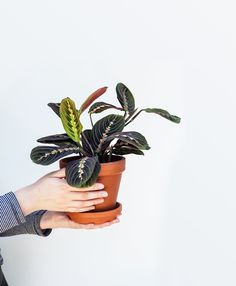House Plants Online on agriculture online, dieffenbachia amoena, jade plant, sansevieria trifasciata, dogs online, food online, asplenium nidus, ficus lyrata, asplenium bulbiferum, hylocereus megalanthus, dracaena sanderiana,