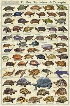 Turtle, Tortoises, and Terrapins.
