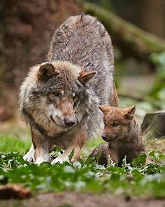 A female wolf with her young pup. ➖➖➖➖➖➖➖➖➖➖➖➖➖➖➖➖ #Instagram  #beautifulday #beautifulphoto #animals #wolf #cuteness #travelingram #travelers #socute #cub #instafollowers #instanature #instafollower #animallovers #instagram #igersoftheday #animallover #instagrammer #animalslover #instagramer #instafollowme #igfollowers #instafamous #instapic #shoutouts #instacat #iger #instapicture #followalways #followus