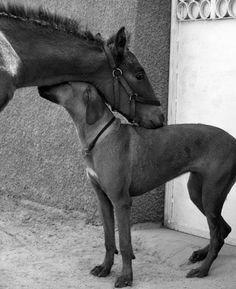 Best friends! Rhodesian Ridgeback and a little horse!
