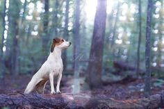 Parson Jack Russell Terrier Isis Maria S. - Queen of the woods. #dog…