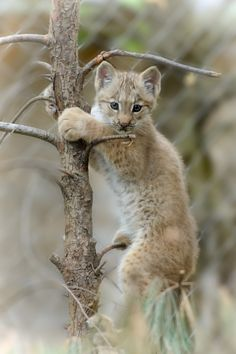 Kittens Cutest, Cats And Kittens, Cute Cats, Pretty Animals, Cute Baby Animals, Crazy Cats, Big Cats, Nature Animals, Animals And Pets