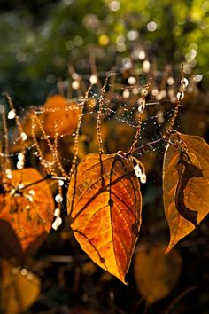 Autumn scene leaves and cobwebs Autumn Scenes, Instagram Feed, Moonlight, Dandelion, Leaves, Nature, Flowers, Plants, Projects