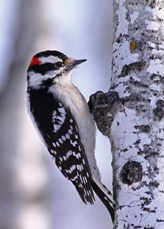 122014 Xmas Bird Count ~ Downy woodpecker - Picoides pubescens - is smaller in size and has a proportionately shorter beak than the Hairy woodpecker Pretty Birds, Love Birds, Beautiful Birds, Small Birds, Colorful Birds, Downy Woodpecker, Kinds Of Birds, Tier Fotos, Backyard Birds