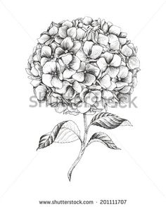 Hand-drawn hydrangea, vector illustration in vintage style. - stock vector