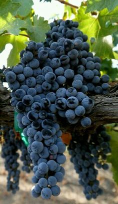 """Cabernet Sauvignon Grapes, just one of our fabulous varietals! Come Taste the Magic that is """"West Niagara's Wine Route! Cheers, Vinifera, The Inn on Winery Row Cabernet Sauvignon, Art Du Vin, Photo Fruit, Fruits Decoration, Wine Vineyards, Vides, Beautiful Fruits, Wine Cheese, Exotic Fruit"""