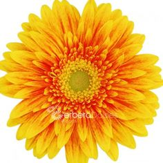 Flame Gerberas Daisies, Yellow and Orange gerberas, are great flowers to use in any happy occasion!