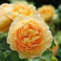 Rose Golden Celebration, Rosa 'Golden Celebration', English Rose 'Golden Celebration', David Austin Roses, English Roses, Yellow roses, shrub roses, Rose Bushes, Garden Roses, very fragrant roses