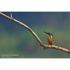 I Liked this Instagram: Common kingfisher by AWAIS ALI SHEIKH  #landscape #photo #image #photography #nature #travel #art #beinspired #sky #sunrise #sea #digital #surreal #amazing #creative #beautiful #garden #mountains #sun #spring #clouds #beach #scenic #awesome #sunset #photooftheday #cool #colors #scenery #love by akansha_india