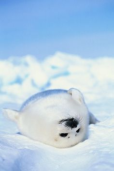 """""""Just a tiny little push, man, please? Then I can just glide in the water..."""" Lazy Arctic Seal"""