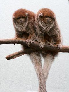 "Titi Monkey Callicebus donacophilus ""Perched like a bird"""