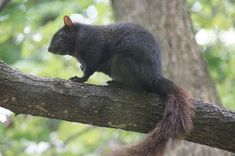 images of black squirrels - Google Search