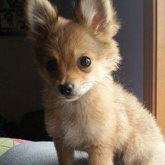 Pomeranian Chihuahua mix