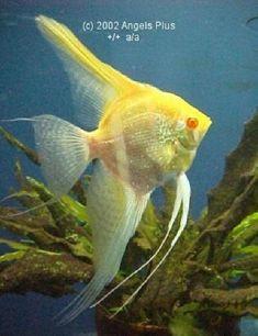 Silver albino with excellent conformation Betta Aquarium, Tropical Fish Aquarium, Freshwater Aquarium Fish, Beautiful Fish, Animals Beautiful, Angel Fish Tank, Fauna Marina, Discus Fish, Cool Fish