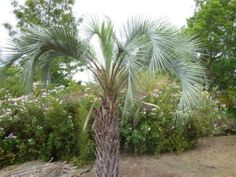 s Wrong With My Pindo Palm Tree - Dealing With Common Pindo Palm Problems