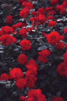 Розы, Красные