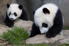 First time exploring the outdoors today! Panda's Dream, Panda Love, Panda Bears, Pet Birds, Exploring, Rest, Creatures, Outdoors, Babies