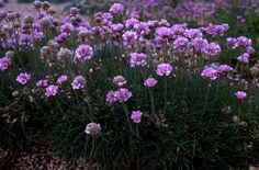 Armeria maritima. Spring flowering alpine, evergreen, mat-forming, 50cm x 50cm. Grow in full sun, well-drained soil. Good for rock garden or trough or front of border.