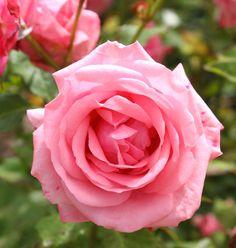 """"""" Gene Boerner """" - Floribunda rose - Pink - Mild fragrance - Eugene Boerner (US), 1968"""