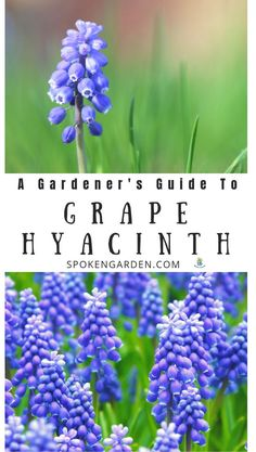 garden care vegetable Grape Hyacinth are beautiful spring-blooming flowers perfect for almost any landscaping situation. Learn Grape Hyacinth care, flower maintenance, and tips for planting grape hyacinth bulbs in your garden. Spring Blooming Flowers, Spring Flowering Bulbs, Spring Plants, Blooming Plants, Spring Garden, Grape Hyacinth Flowers, Muscari Flowers, Hyacinth Plant, Flowers Perennials
