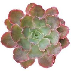 Echeveria Neon Breaker Succulents 2 inch or 4 inch Neon Purple Plants Pink Flowers and blue hued leaves Exotic Succulent Bloom Echeveria Succulents For Sale, Purple Plants, Colorful Succulents, Planting Succulents, Succulent Plants, Succulent Names, Indoor Succulents, Jade Plants, Growing Succulents