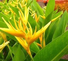Hawaiian Yellow...Heliconia...technically it grows all over Asia Pasific now :)